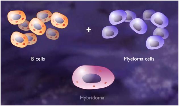 Adaltis S.r.l. - Hybridomas (Cell Lines) & Monoclonal Antibody ...